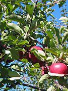 apples_03.jpg