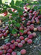 apples_04.jpg